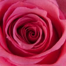 bulk roses inspiring dekora bulk pink roses opulent pack of 100 stems ifloral