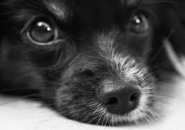 Gambar hitam dan putih rambut anak anjing hewan imut binatang