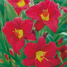 stella daylily ruby stella everblooming daylily direct gardening