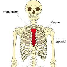 Female Breast Anatomy And Physiology The Sternum Breast Bone The Skeleton U0026 Bones Anatomy