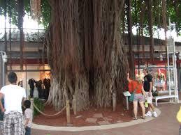 bayside banyan tree miami fl image