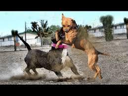 american pitbull terrier c pitbull terrier vs american bully youtube