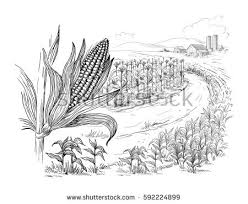 corn stalks field illustration download free vector art stock