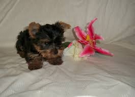 the yorkshire terrier pruitt yorkies