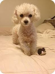 Seeking Teacup Fort Worth Tx Poodle Or Tea Cup Meet Darby 3yr Tiny