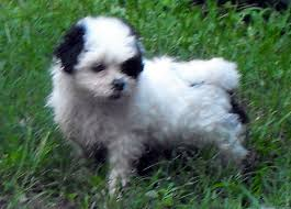 shih tzu with curly hair toy hybrid registered teddy bear puppy