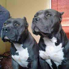 ukc american pitbull terrier xl bully american pitbull terrier puppy ukc phoenix misc for