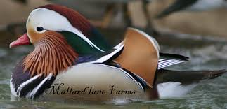 ducks for sale from mallard farms