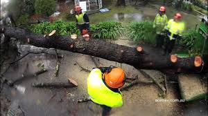 dangerous pine tree removal service