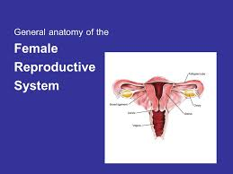 Anatomy Of Female Reproductive System General Anatomy Of The Female Reproductive System Ppt Download