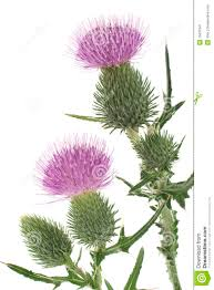 thistle pictures clip art clipart collection