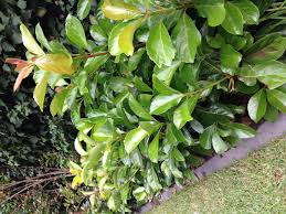 viburnum emerald lustre p l a n t i n g pinterest plants and