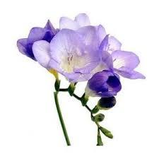 freesia flower flower