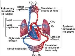 Anatomy And Physiology Of Lungs Chapter 8 Fundamentals Of Anatomy And Physiology