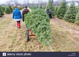 a christmas tree being pulled by people who cut down a christmas
