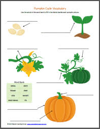 pumpkin life cycle worksheets pumpkin life cycle life cycles