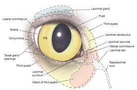 Picture Of Eye Anatomy Eye Opener Anatomy Glands