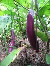 exploring vegetables ichiban eggplant our twenty minute kitchen