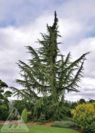 weeping lebanon cedar tree tlc garden centers