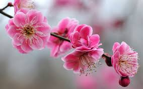 download cherry blossoms wallpaper free wallpapers