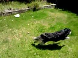 Dog In The Backyard by My Dog Roxy Running Figure 8 U0027s In The Backyard Youtube