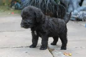 affenpinscher puppies florida find bedlington terrier puppies dog breeds puppies bedlington