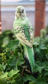 39 best keets images on parakeets budgie parakeet and