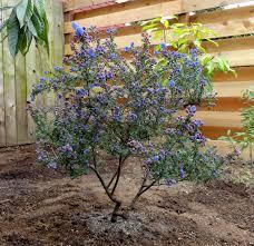 Heat Resistant Plants Ceanothus U0027dark Star U0027 Heat And Drought Tolerant Shrub To Small