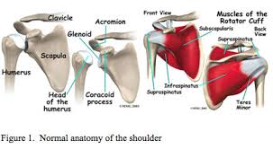 Front Of The Shoulder - shoulder rotator cuff tear ucla orthopaedic surgery los angeles