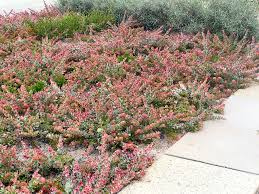 native plants south australia angus u0027s top ten australian groundcovers gardening with angus