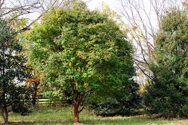 Tree For Home Decoration Outdoor U0026 Garden Lovely Paperbark Maple Tree For Home Landscaping