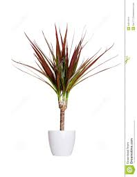 Dracaena Marginata Houseplant Dracaena Marginata A Potted Plant Isolated Over Whi