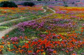 South African Wild Flowers - namaqualand belafrique your personal travel planner www