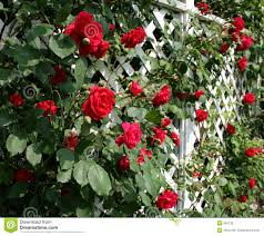 red rose trellis royalty free stock images image 964729