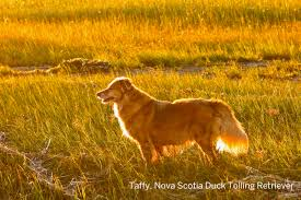 Cape Cod Dog Nova Scotia Duck Tolling Retriever Taffy Checks Out The Sunset At