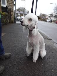 feeding a bedlington terrier bedlington terrier yearofthedog blog