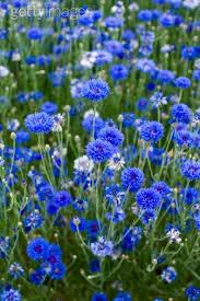 best 25 bachelor buttons ideas on pinterest cornflower flower