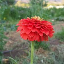 Zinnia Flower Giant Coral Zinnia Flower All Good Things Organic Seeds