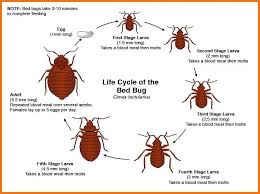 Kill Bed Bugs Bed Bug Life Cycle