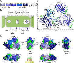 the structure and dynamics of secretory component and its