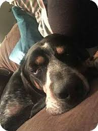 bluetick coonhound nh hambone adopted dog lebanon me bluetick coonhound