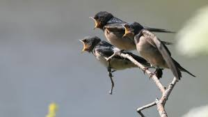 what does a swallow symbolize reference com