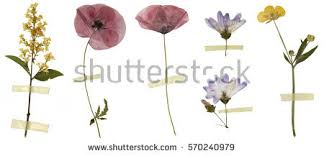 dried flowers dried flowers stock images royalty free images vectors