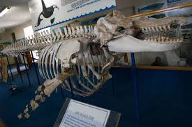 old tom killer whale wikipedia
