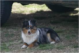 australian shepherd knoxville tn australian shepherd guaranteed happy healthy dogs dollsanddogs com