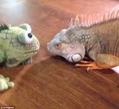 Seeking Lizard Episode The Moment An Iguana Takes On Stuffed Animal Version Of