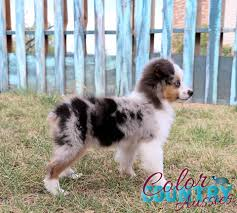 australian shepherd jump height color country aussies home facebook