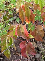 southwest colorado wildflowers toxicodendron rydbergii