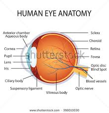 Picture Of Eye Anatomy Astigmatism Corrected By Cylindrical Lens Eyesight Stock Vector