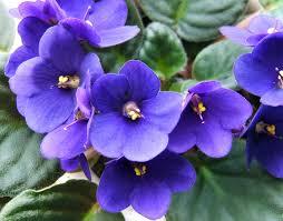 edible blue flowers edible flowers